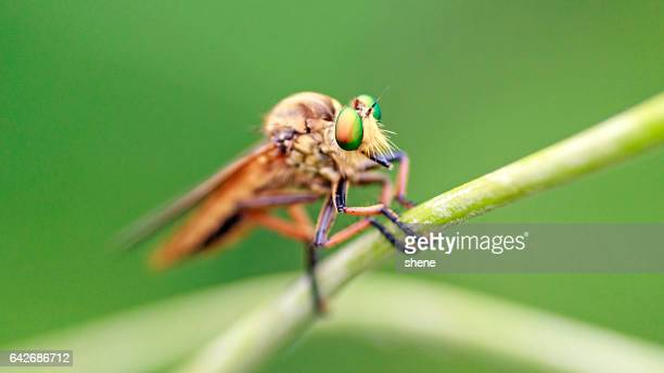 robberfly - kissing bug stock photos and pictures