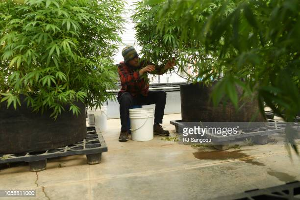 Robbie Burnette works on trimming one of the mother plants at Veritas Farms on November 7 2018 in Pueblo Colorado The farm grows and process hemp