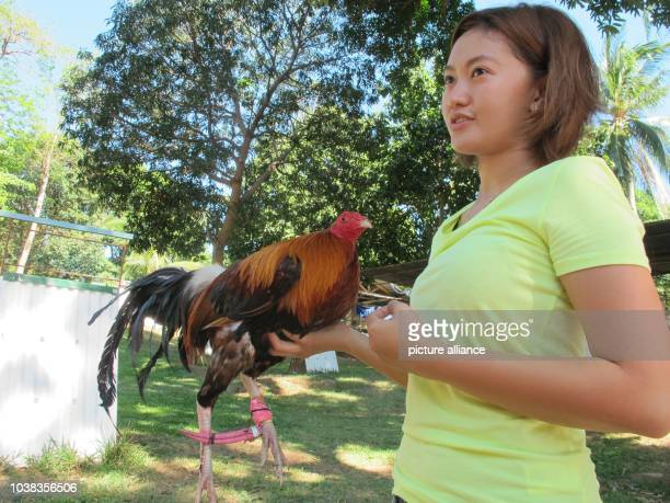 ARCHIVE Robbie Panis shows a cock on the Firebird breeding farm for fightingg cocks in Tanay Phillipines 26 April 2016 She is one of few women in the...