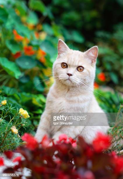 robbie - ragdoll cat stock pictures, royalty-free photos & images