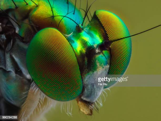 rober fly - bug eyes stock photos and pictures