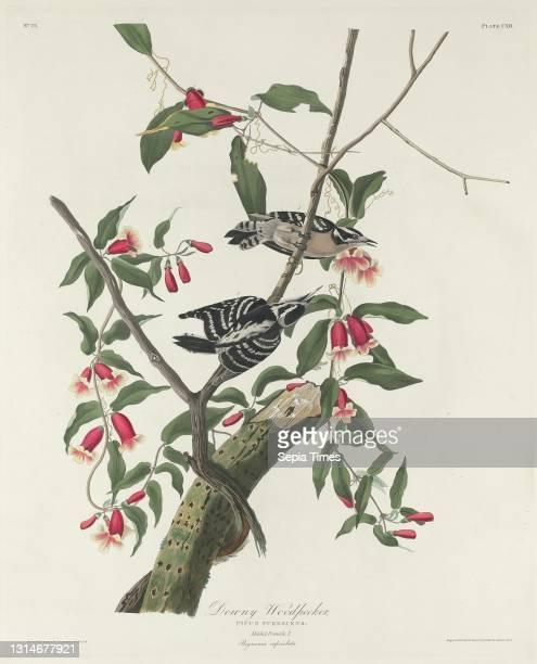 Robert Havell, Jr., , American, born England, 1793 - 1878, John James Audubon, , American, 1785 - 1851, Downy Woodpecker, The Birds of America: Plate...