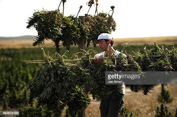 Robert Werner helping with the harvest of the Stanley brothers specialized breeding highCBD strains of cannabis including Charlottes Web for Colorado...