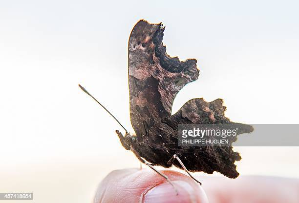 A RobertleDiable butterfly is perched on a finger on October 18 2014 in the French northern city of Godewaersvelde AFP PHOTO PHILIPPE HUGUEN