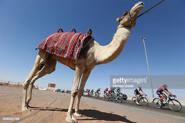 Roberto Ferrari of Italy and Lampre Merida leads the peloton past a camel during the Westin Stage Three of the Tour of Dubai on February 5, 2016 in...