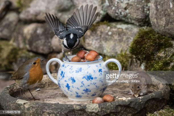 robin always waits - susanne ludwig stock pictures, royalty-free photos & images