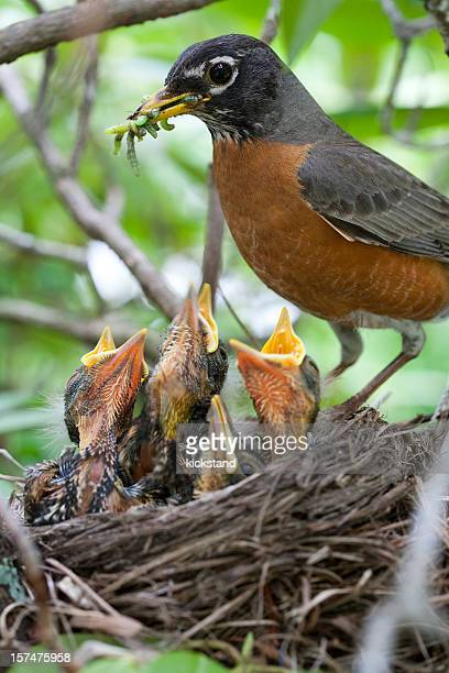 Robin and babies in nest
