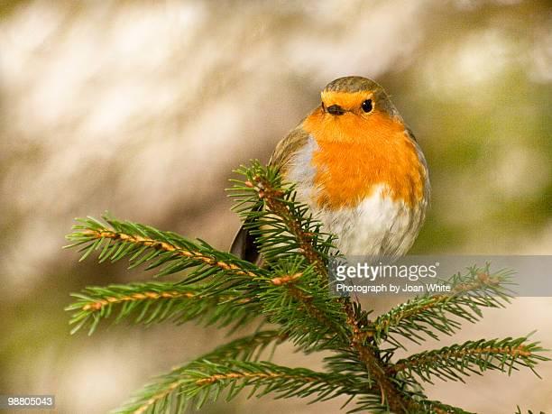 robin at the top of the tree - conifera foto e immagini stock