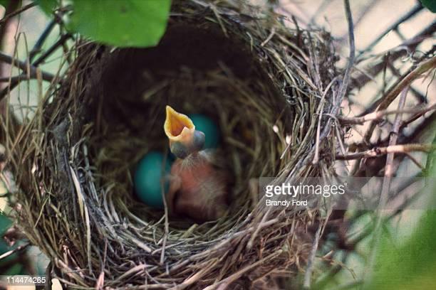 Robin baby bird