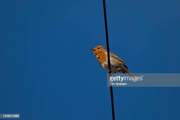 Robin bird Erithacus rubecula tweeting on wire at Woolacombe North Devon UK