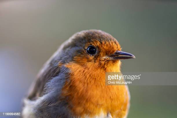 robin - bird - songbird stock pictures, royalty-free photos & images