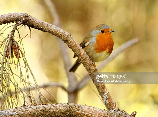 robin bird - alyson fennell stock pictures, royalty-free photos & images