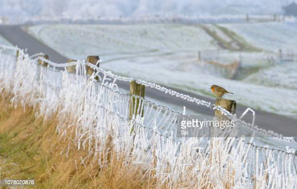 Robin bird sitting on a snow covered fence with a snowy landscape in the background