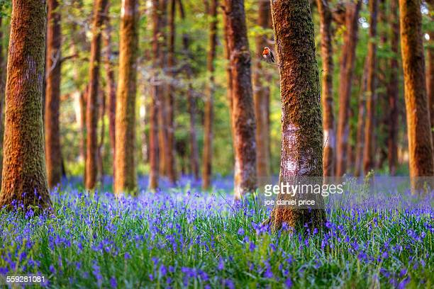 robin, bluebells, soudley, gloucestershire - bluebell stock pictures, royalty-free photos & images