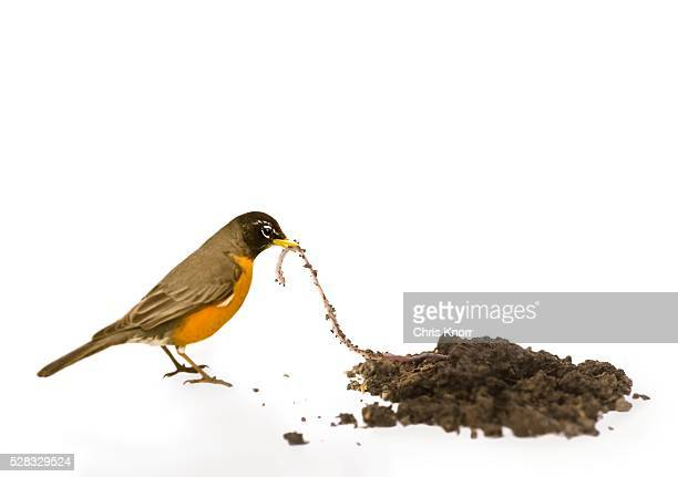 A robin catching a worm