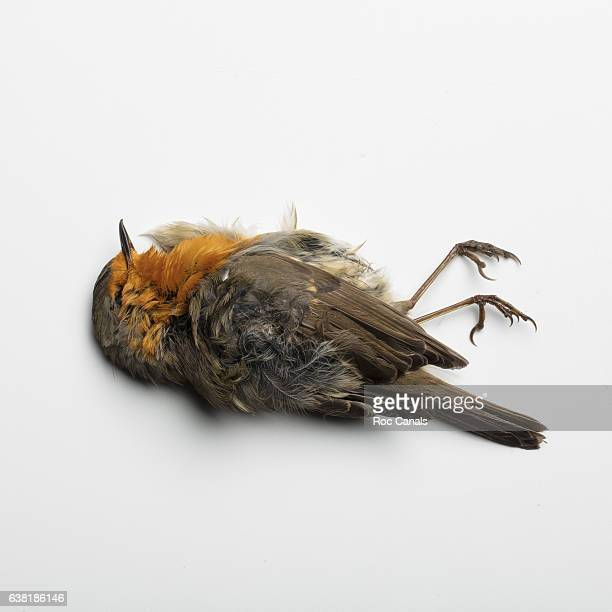 robin death - dead stock pictures, royalty-free photos & images