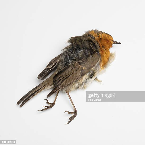 robin death - physical description stock pictures, royalty-free photos & images