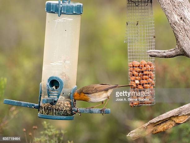Robin (Erithacus rubecula) , eating of a feeding-place for birds in the nature . Spain, Europe.