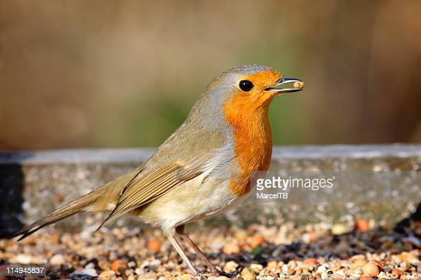 Robin eating