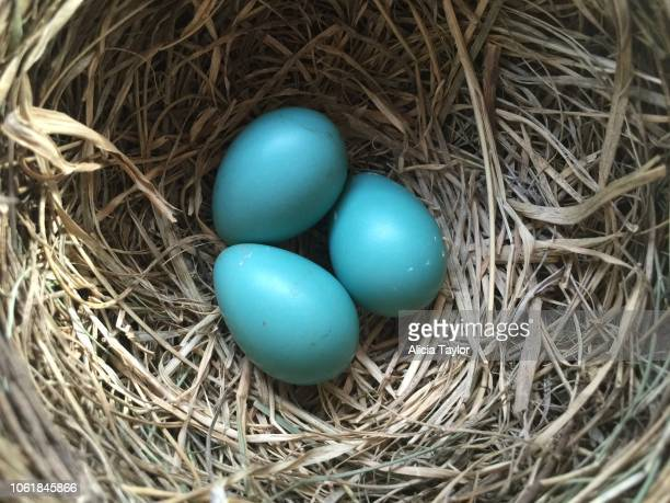 robin eggs - american robin stock pictures, royalty-free photos & images