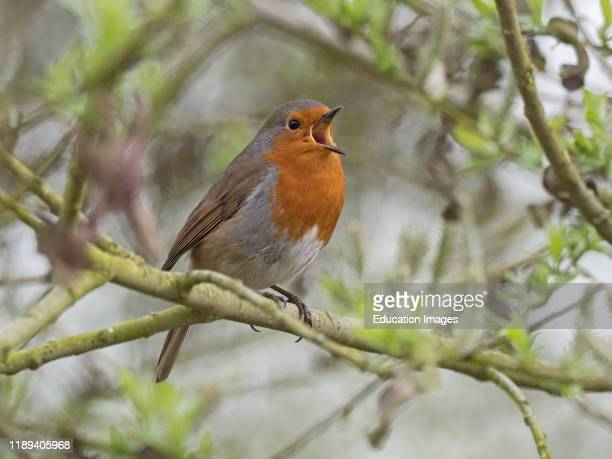 Robin Eithacus rubecula in song Norfolk