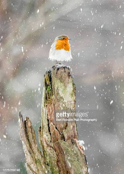 robin enduring snowstorm 3 - snow stock pictures, royalty-free photos & images
