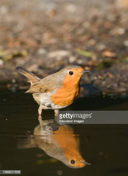 Robin, Erithacus rubecula, at puddle to drink, Norfolk, UK.