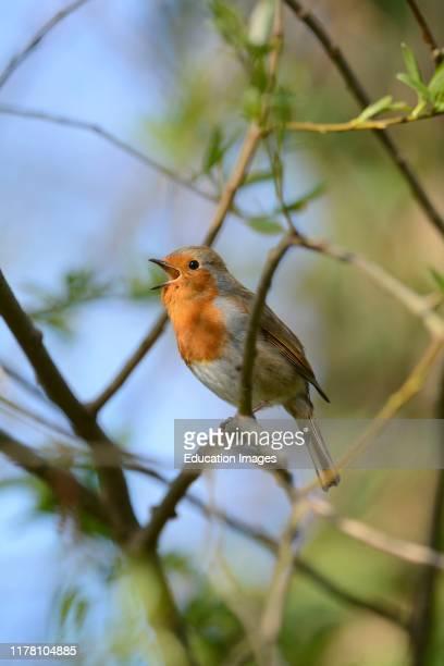 Robin Erithacus rubecula in song Norfolk spring