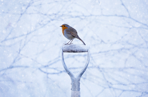 Robin Erithacus rubecula on a spade handle in the snow - gettyimageskorea