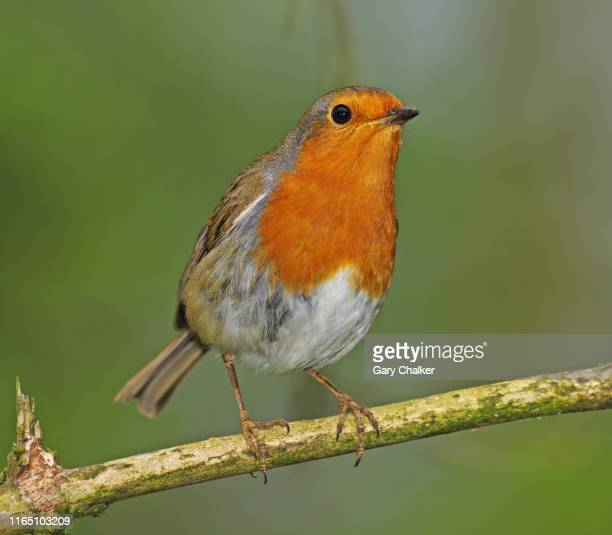 robin [erithacus rubecula] - twig stock pictures, royalty-free photos & images