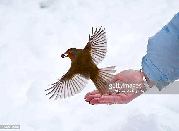 Robin feeding off hand in the snow