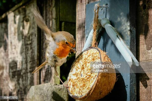 robin flying to a garden feeder - bird stock pictures, royalty-free photos & images