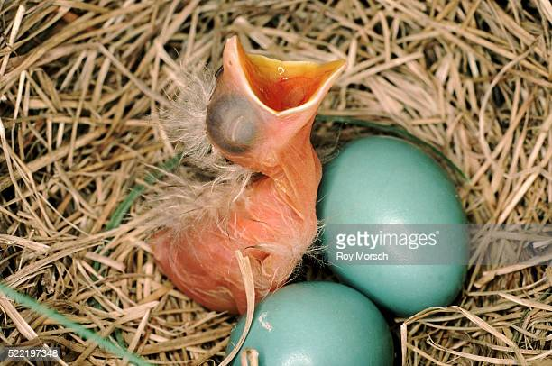 Robin Hatchling and Eggs in Nest