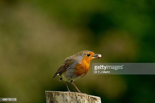 Robin holding food in its beak