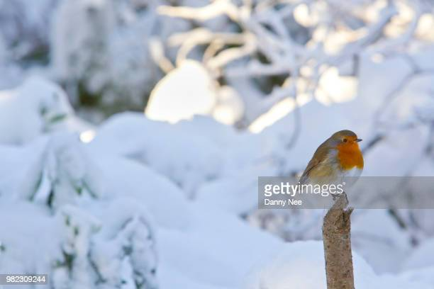 robin in a snowy winter scene - nee nee stock pictures, royalty-free photos & images