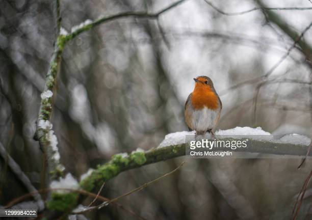 robin in the snow - wildlife stock pictures, royalty-free photos & images