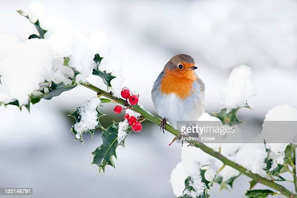 robin in the snow - bird stock photos and pictures