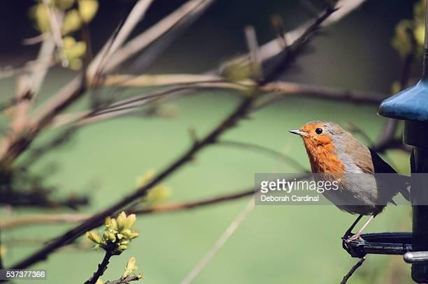 robin in the sun - サットンコールドフィールド ストックフォトと画像