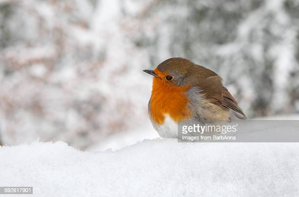 Robin in the winter Snow