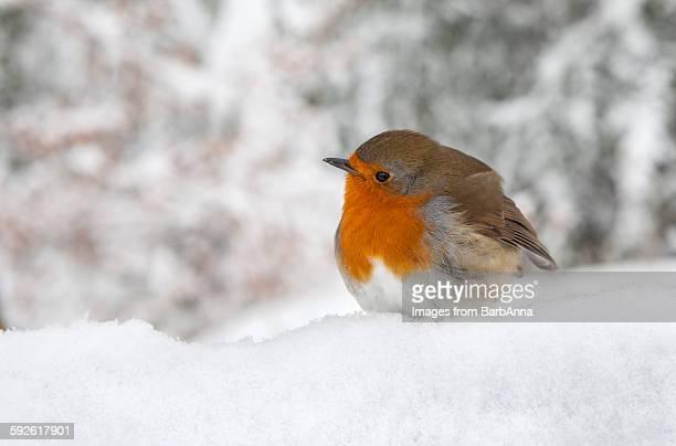 Robin in the winter Snow