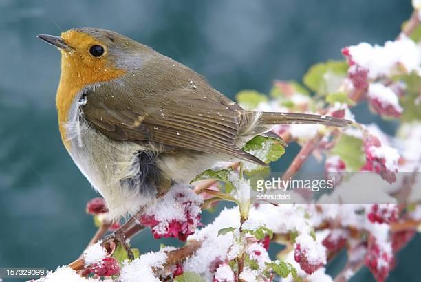 Robin im Winter