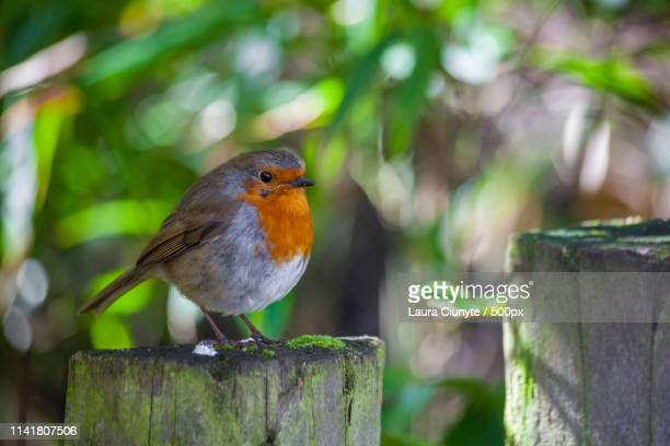 robin iv - laura woods stock pictures, royalty-free photos & images