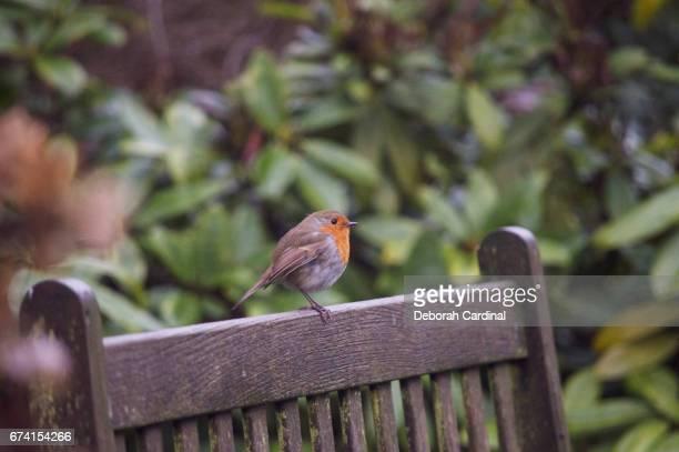 robin on a bench - サットンコールドフィールド ストックフォトと画像