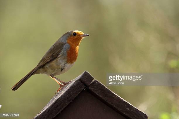 Robin on a bird house