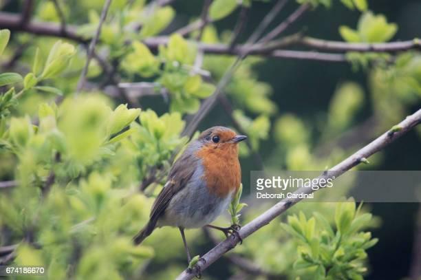 robin on a branch - サットンコールドフィールド ストックフォトと画像
