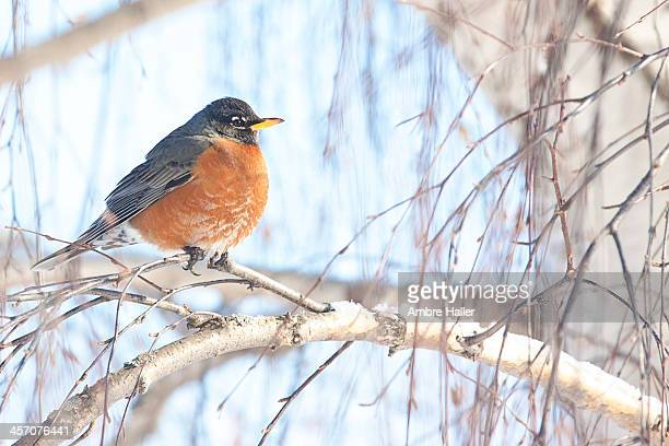 Robin on a snowy branch