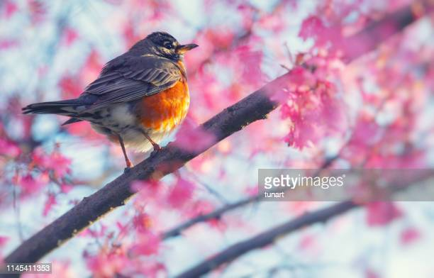 robin on a springtime tree in central park, manhattan, new york city, usa - american robin stock pictures, royalty-free photos & images
