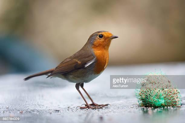 Robin on a table eating a fatball