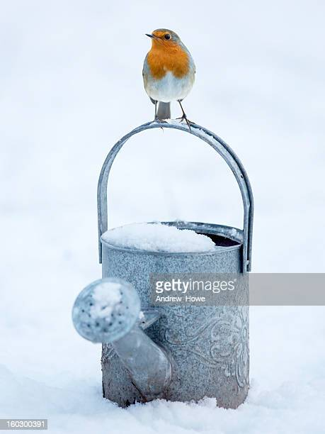 robin (erithacus rubecula) on a watering can - robin stock pictures, royalty-free photos & images