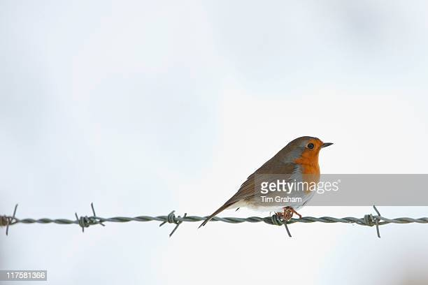 Robin on barbed wire by snowy hillside in The Cotswolds UK